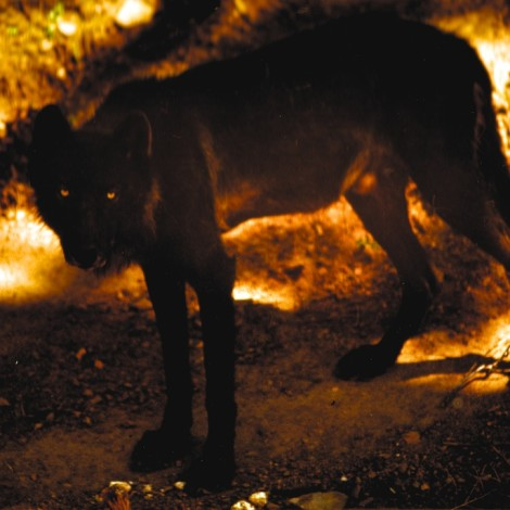 Mission Wolf